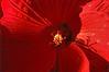 New Hibiscus