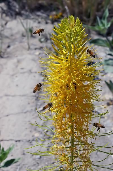 'Bee-sieged' Prince's Plume