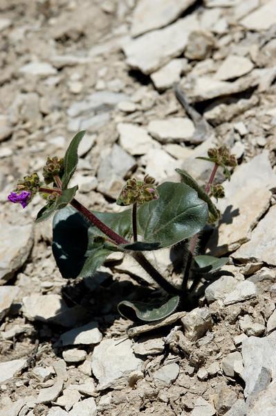 Round-leaf four-o'clock Entire Plant (3 of 3)