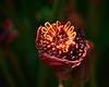 Fridays Flower:  Phaeomeria magnifica