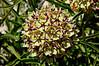 Antelope Horns Milkweed Globe o' Flowers
