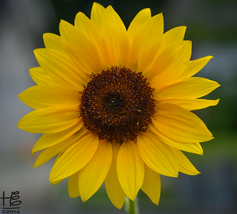 "07-19-14 A simple, centered Sunflower -  the ""rule of thirds"" did not flow with this lovely young lad."