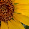full-bloom sunflower