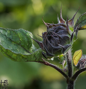 Red Sunflower Bud