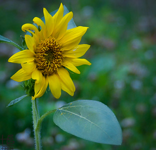 06-03-14 The first Sunflower of the season was a volunteer in a vacant  house lawn.