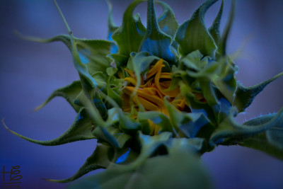 07-02-14 WOW - look at how the Sunflower bud appears painted in the blue light!  The only different camera setting is a 2200 ISO where the others are a 320 ISO.  NOTE:  I would swear to you I did not change the ISO; further proof is the pictures on either side were 320 ISO yet this one is 2200.  Angels @ play!