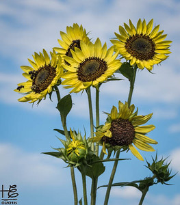 Tall Sunflower Clusters