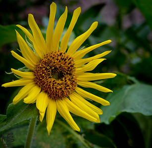 07-20-14 A cheerful, full-bloom Sunflower.
