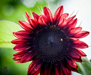 07-19-14 The first dark red Sunflower I encountered and the only one in the patch. Darn it, only took one capture as I did not think it would turn out.