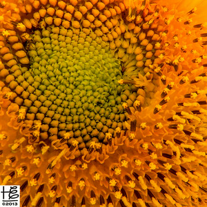 bloomed sunflower close-up