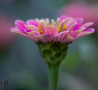 Zinnia bloom