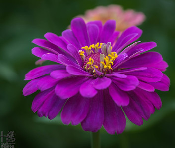 Full-bloom zinnia