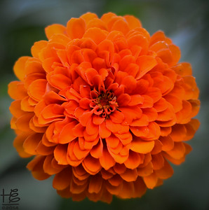 Bright orange zinnia - front view