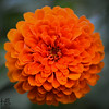 Bright orange zinnia - front view