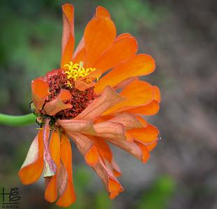 Zinnia losing its petals