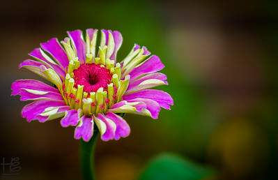 Bright, cheerful zinnia
