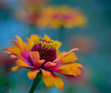 Brilliant, full-bloom zinnia