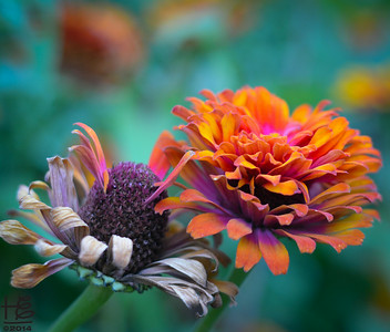 A spectrum of zinnia beauty