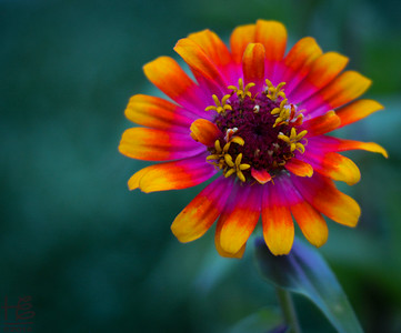 Young, vibrant zinnia