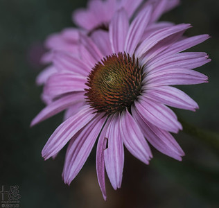 Full-bloom coneflower