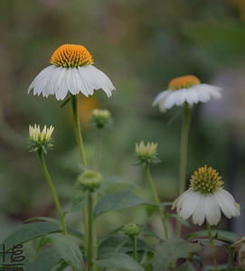 Fall coneflowers