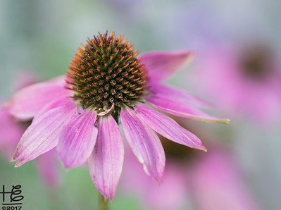 Coneflower leader