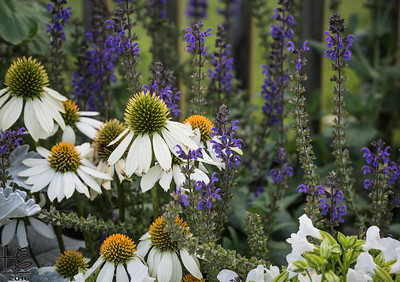 Coneflower mini-garden