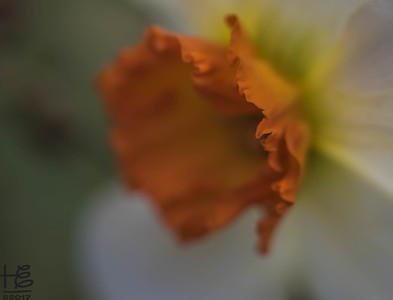 Abstract daffodil capture