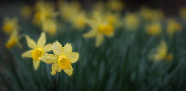 Sea of daffodils
