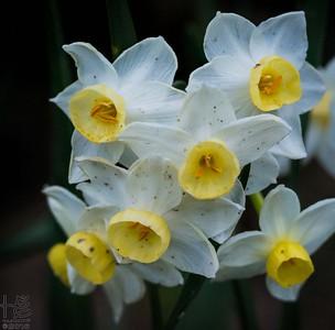 First daffodils of season