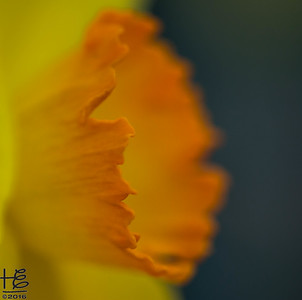 Abstract daffodil center