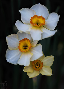 Full-bloom daffodil trio