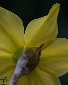 Daffodil: a rear view