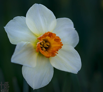 Cheerful full-bloom daffodil