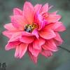 Two carpenter bees on dahia