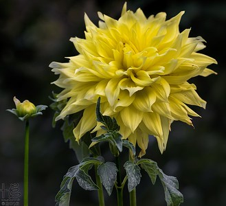 Tall yellow dahlia