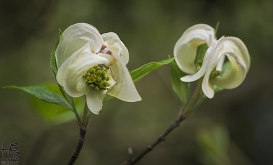 Dancing dogwood bracts