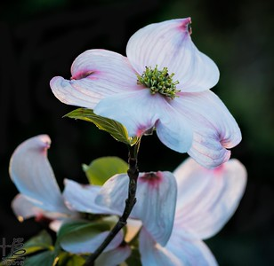 Backlit dogwood bracts