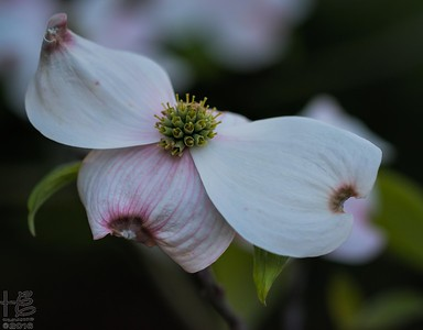 Unique dogwood bract