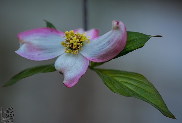 Dogwood Bracts & Flowers