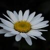 Solo daisy