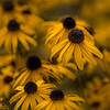 Black-eyed Susie cluster