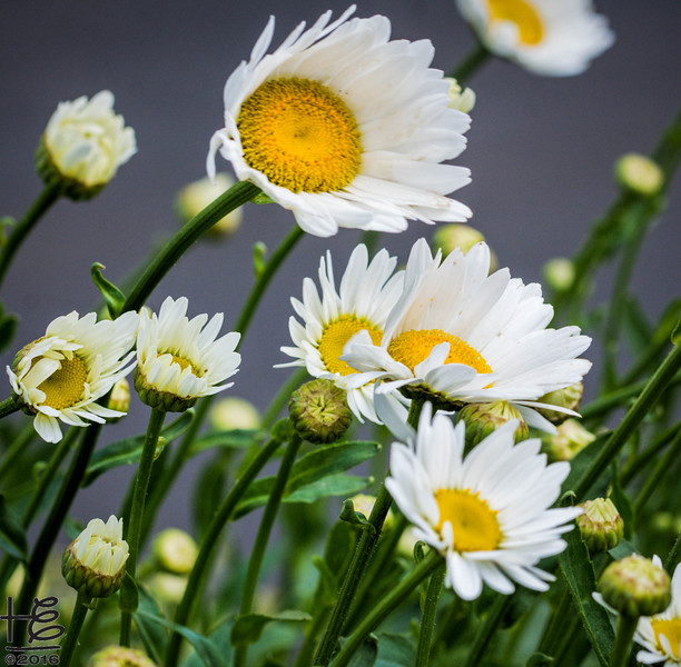 Daisies blowing in wind