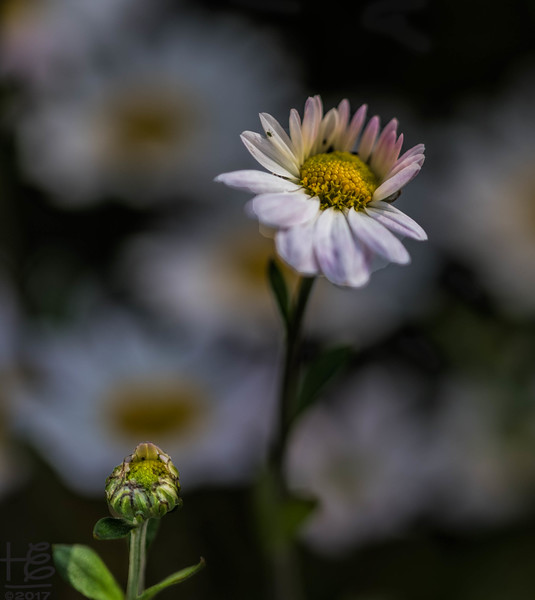 A maiden daisy with child