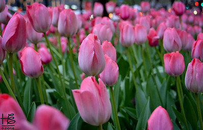 "05-14-14 Michigan Avenue is filled with ""Seas of Tulips"" along The Magnificent Mile."