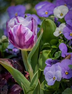 Delightful tulip w/ pansies