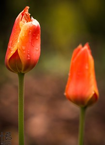 Tulip sisters