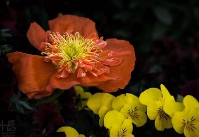 Full-bloom poppy