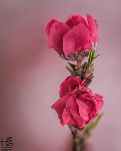 Peach blossom duo
