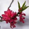 red peach blossoms